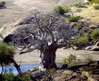 The baobab tree is going to be around for a long time