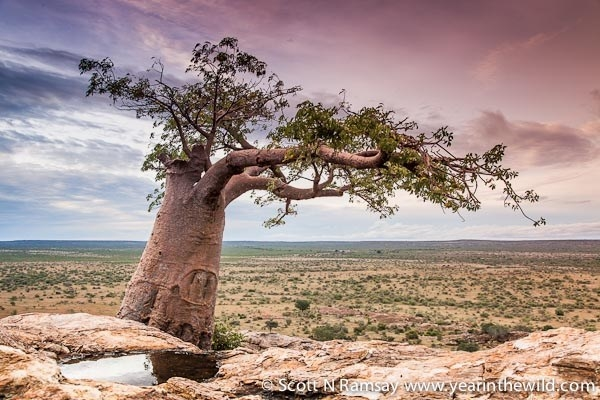 Dung Beetles and Baobabs
