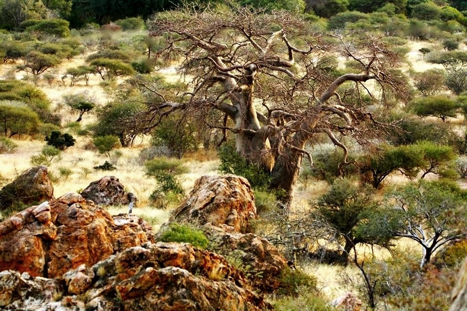 Baobabs in the landscape