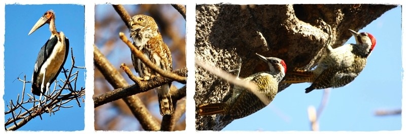 Birds in baobab trees
