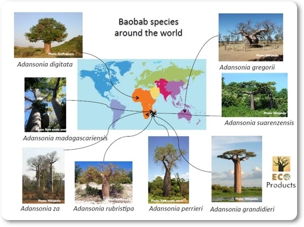 Where did that baobab come from?
